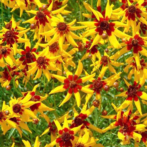A close up square image of 'Mardi Gras' coreopsis with yellow petals and red centers.