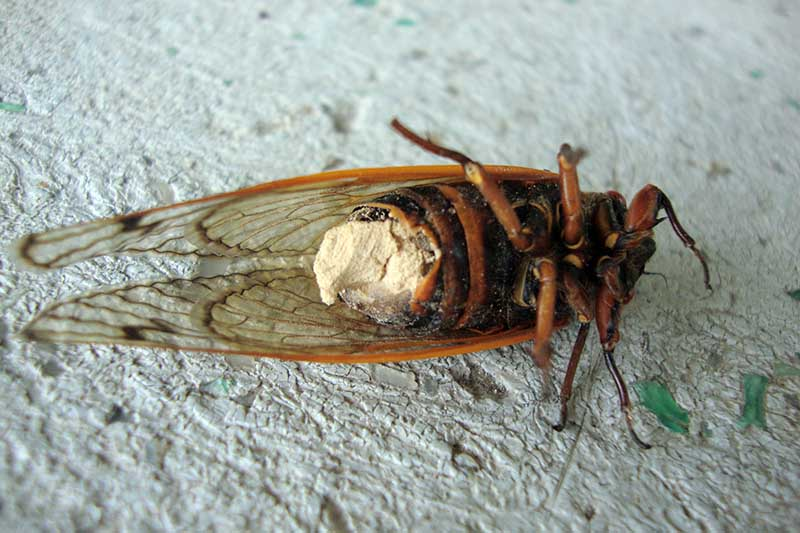 A close up horizontal image of a periodical cicada suffering from a fungal infection from a pathogen called Massospora cicadina.