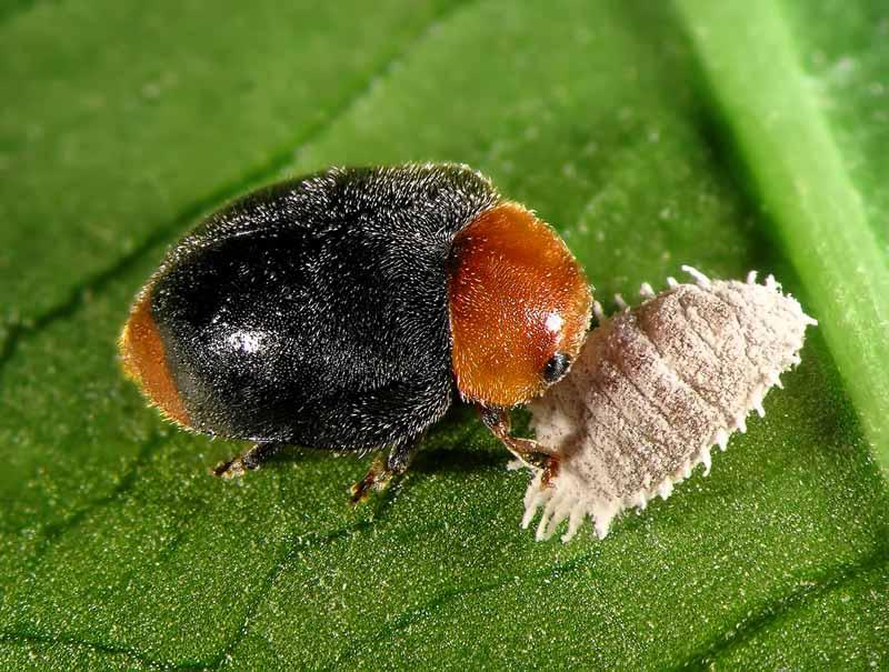 A close up horizontal image of a ladybug attacking a citrus mealybug on a leaf.