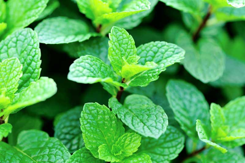 Close up of a mint plant growing in a herb garden.