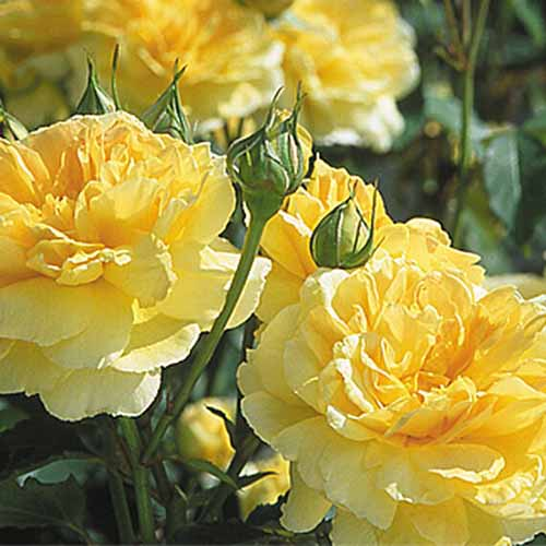 A close up square image of bright yellow 'Molineux' roses growing in the garden pictured in bright sunshine on a soft focus background.