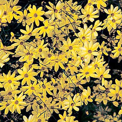 A close up square image of 'Moonbeam' bright yellow flowers growing in the garden.
