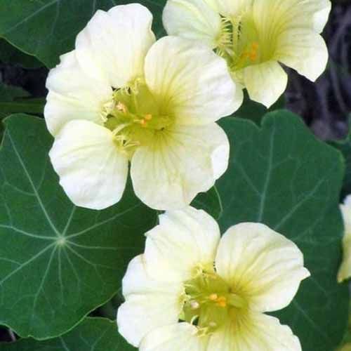 A close up square image of white Tropaeolum 'Moonlight' flowers with foliage in soft focus in the background.