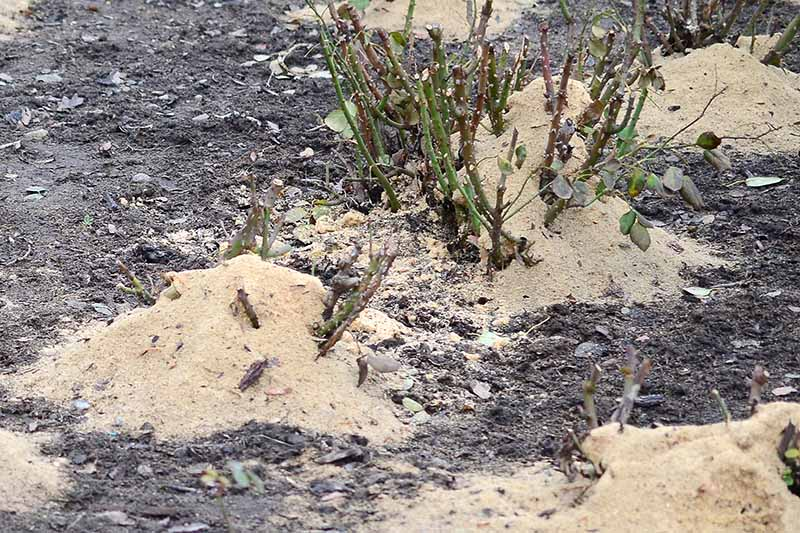 A close up horizontal image of bare root roses surrounded by sawdust mulch after planting.