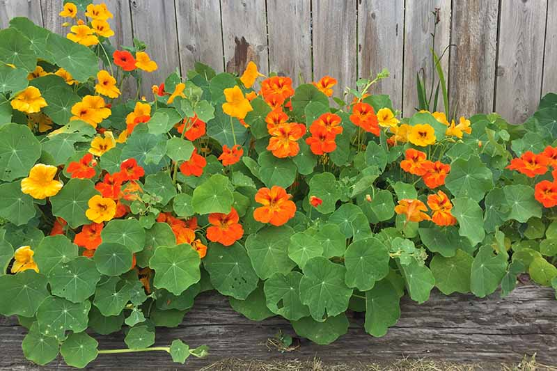 A close up horizontal image of yellow and orange nasturtium flowers growing in a garden border in front of a wooden fence.