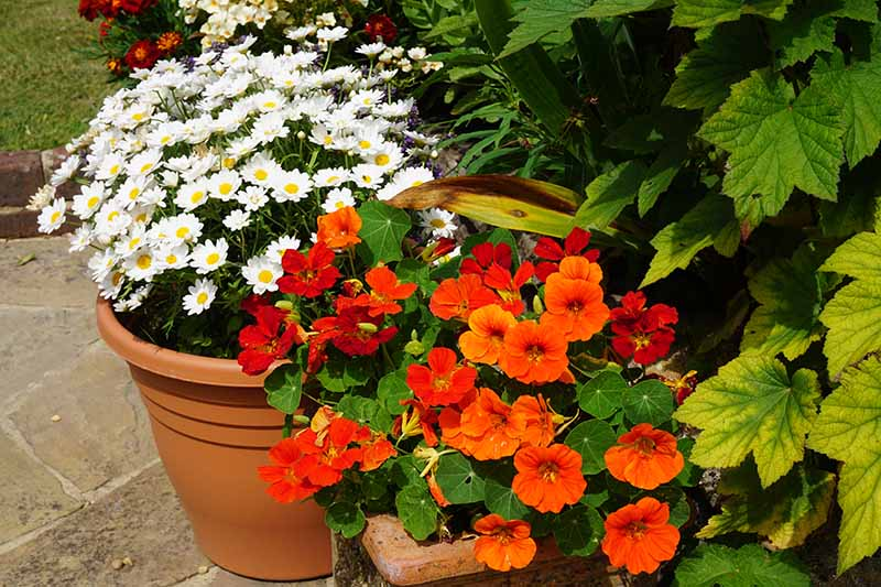 A close up horizontal image of red nasturtium flowers growing in a terra cotta pot as part of a patio container garden.