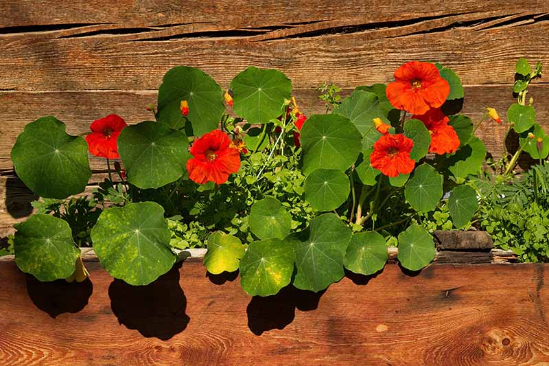 A close up horizontal image of a wooden planter with red nasturtium flowers growing in front of a wooden fence.