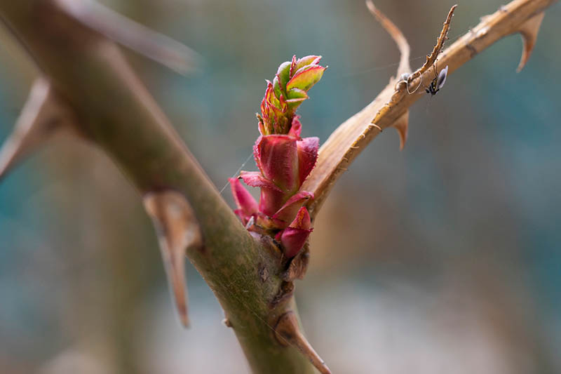 A close up horizontal image of new growth appearing on a shrub in the garden pictured on a soft focus background.