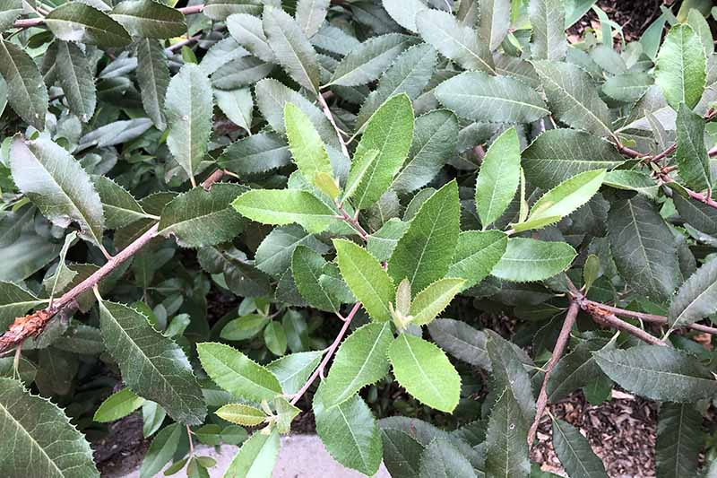 A close up horizontal image of a toyon (Heteromeles arbutifolia) shrub growing in the garden.