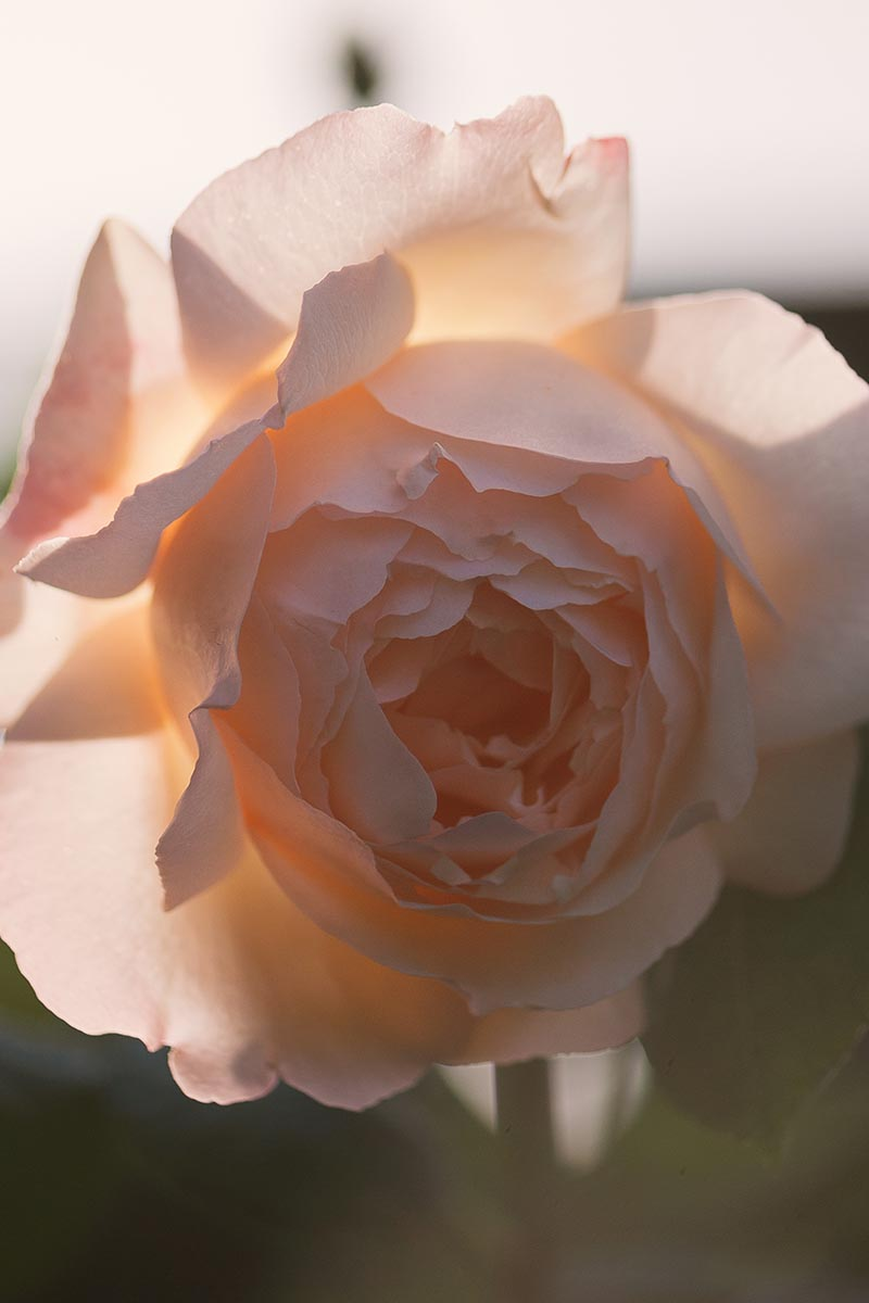 A close up vertical image of a peach colored 'Old Wollerton Hall' flower pictured on a soft focus background.