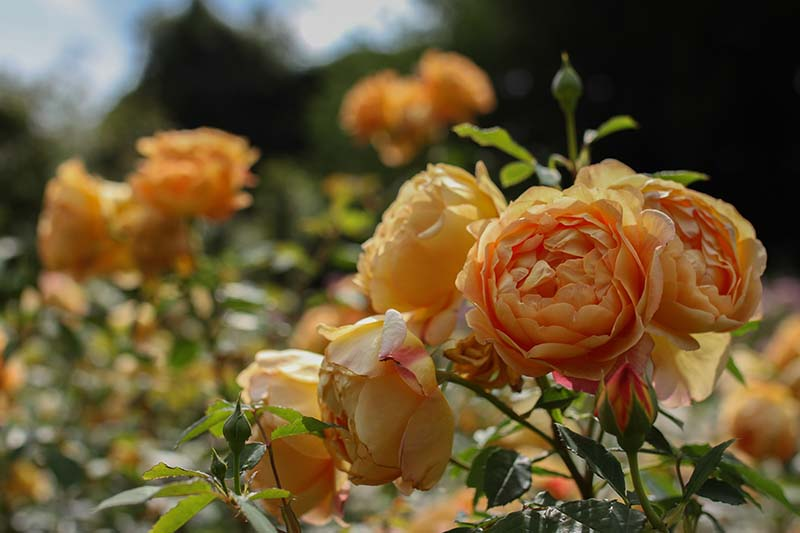 A close up horizontal image of orange David Austin flowers growing in the garden pictured on a soft focus background.