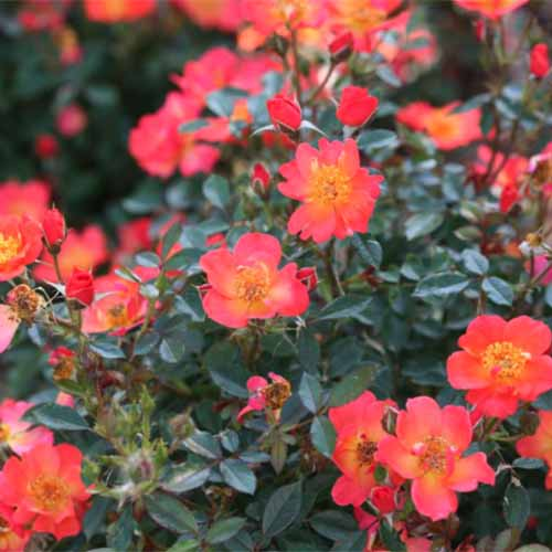 A close up square image of Oso Easy 'Hot Paprika' roses growing in the garden.