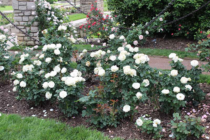A horizontal image of white 'Paloma Blanca' roses growing by the side of a garden pathway.