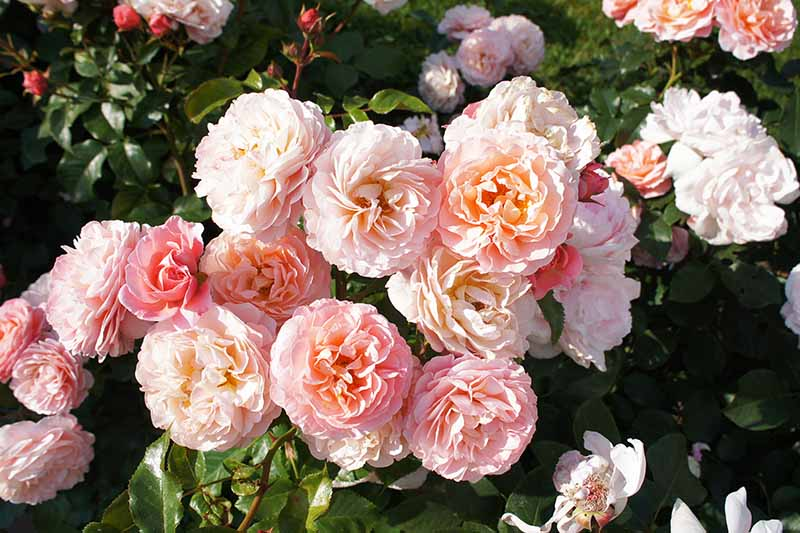 A close up horizontal image of peach colored flowers growing in the garden pictured in light sunshine.