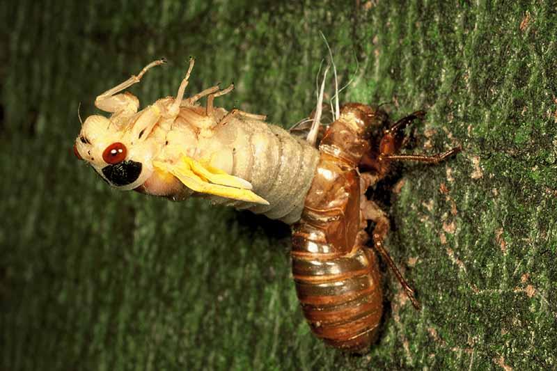 A close up horizontal image of a periodical cicada shedding its exoskeleton after emergence.