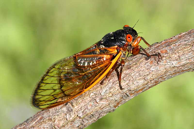 A close up horizontal image of a periodical cicada on the branch of a shrub pictured on a soft focus background.