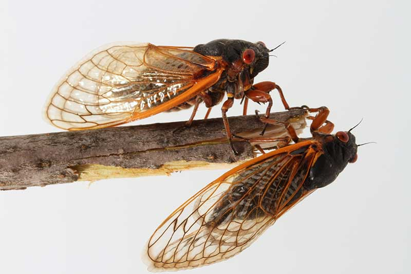 A close up horizontal image of two periodical cicadas from Brood V on the end of a cut branch pictured on a white background.