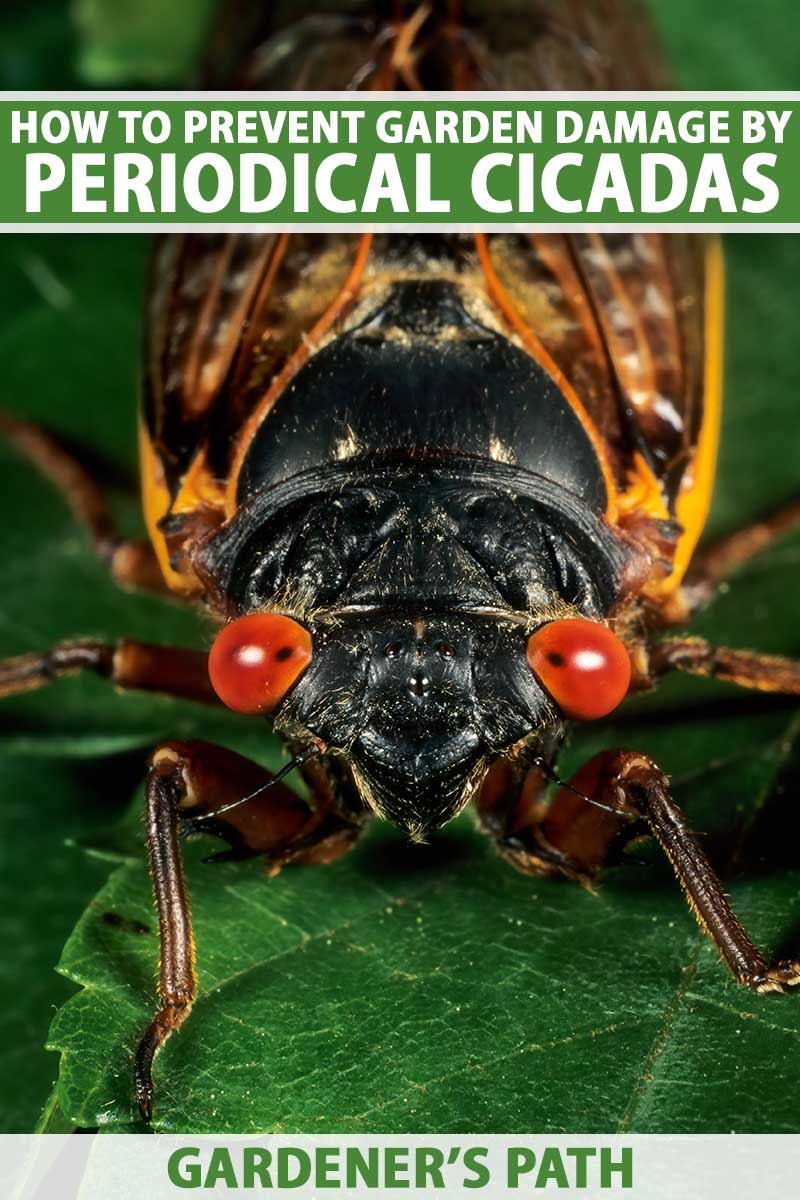 A close up vertical image of a periodical cicada with bright red eyes and a dark face sitting on a leaf. To the top and bottom of the frame is green and white printed text.