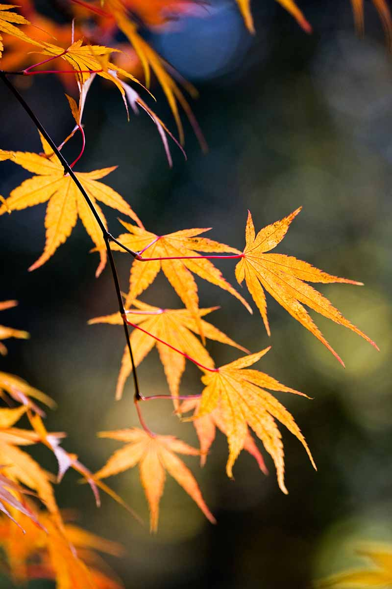 A close up vertical image of a pinebark type Acer palmatum tree pictured on a soft focus background.