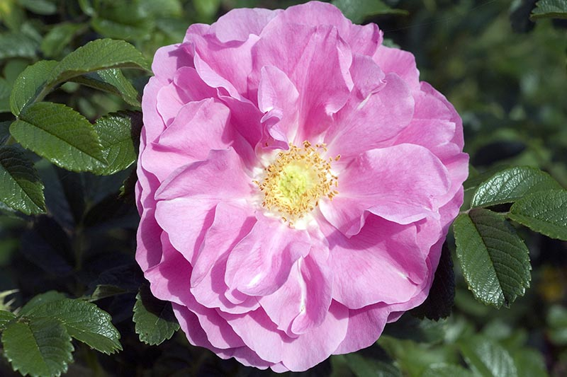A close up horizontal image of a pink shrub rose growing in the garden pictured in bright sunshine on a soft focus background.