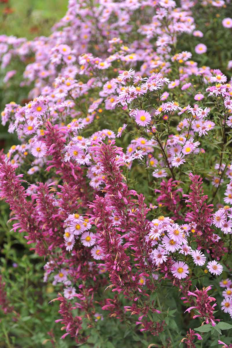 A close up vertical image of pink asters growing in the garden with anise hyssop.