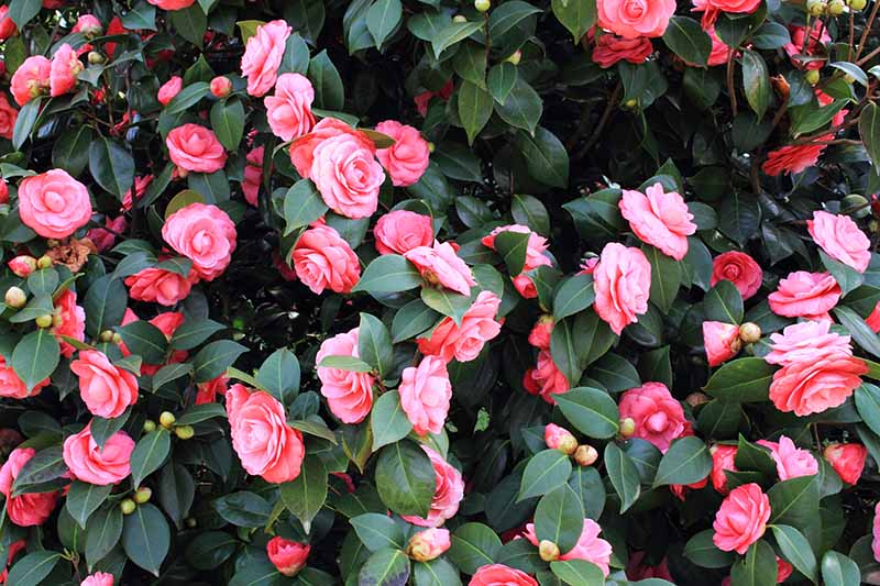 A horizontal image of pink flowers and dark green foliage of a camellia shrub growing in the garden.