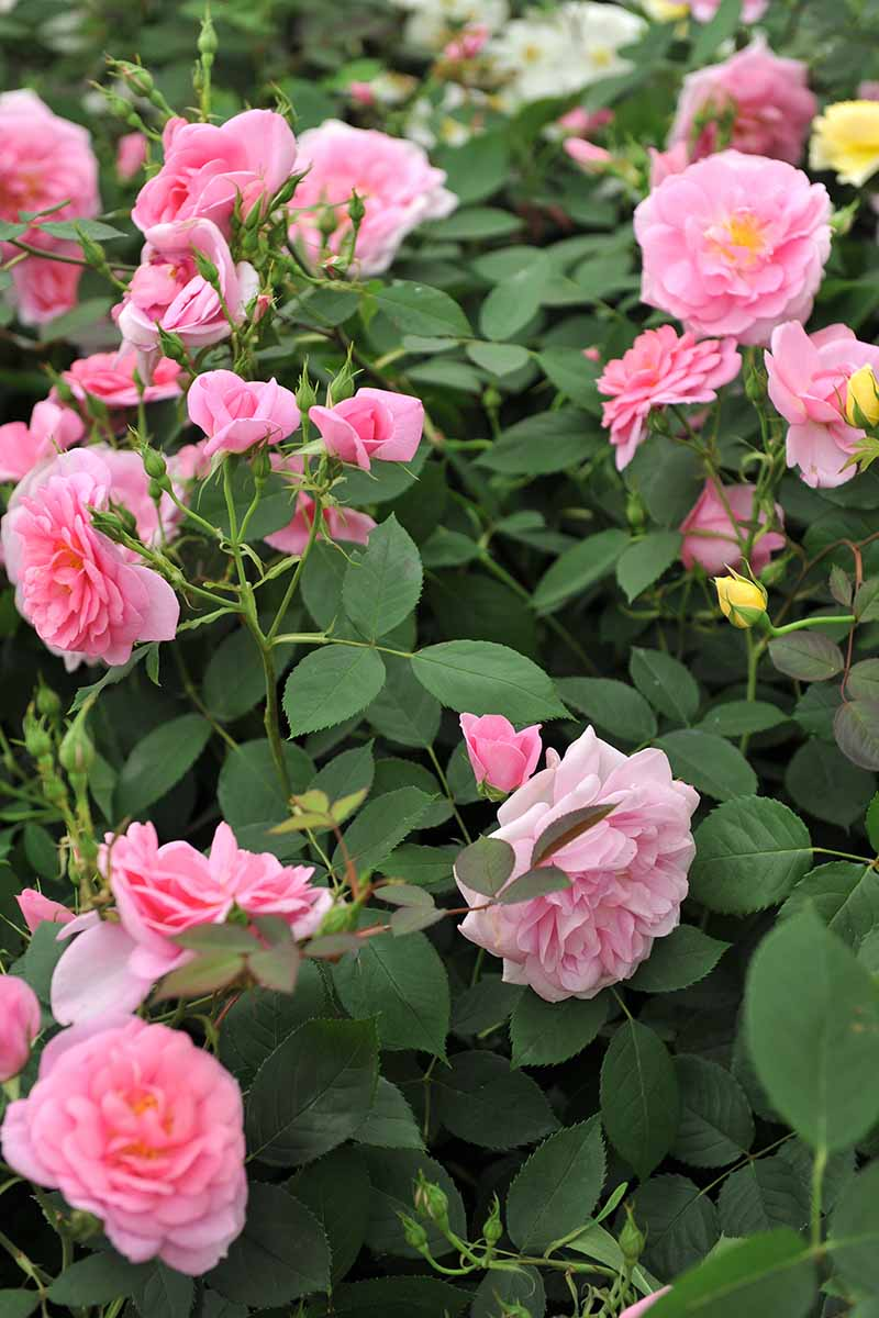 A close up vertical image of pink David Austin flowers growing in the garden.