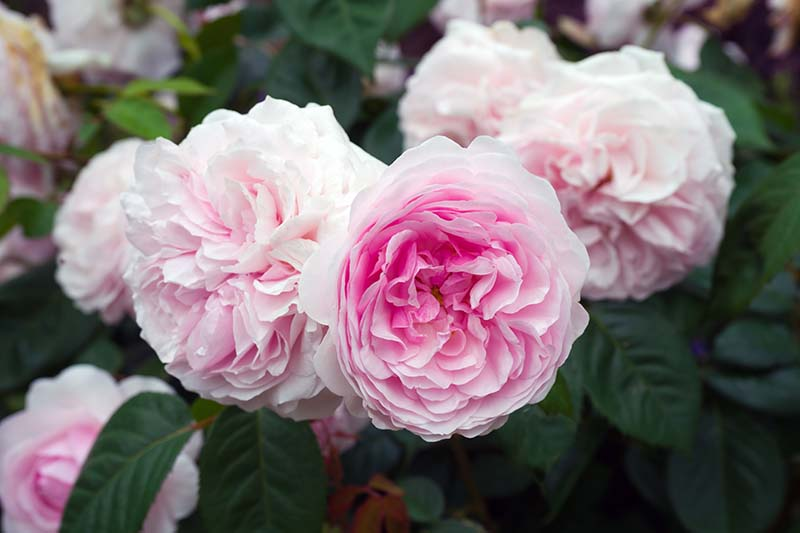 A close up horizontal image of pink David Austin English roses growing in the garden pictured on a soft focus background.