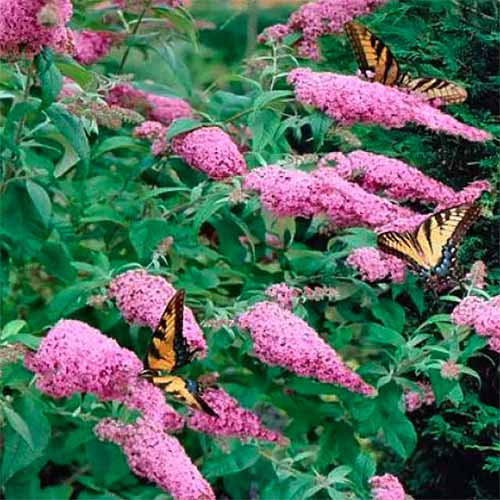 A close up square image of Buddleia 'Pink Delight' growing in the garden with butterflies on the light pink flowers.