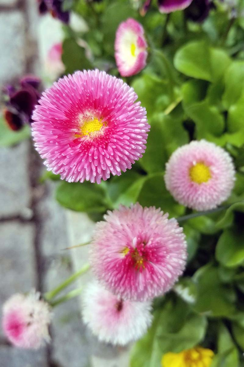 A close up vertical image of bright pink Bellis perennis flowers growing by the side of a concrete path.