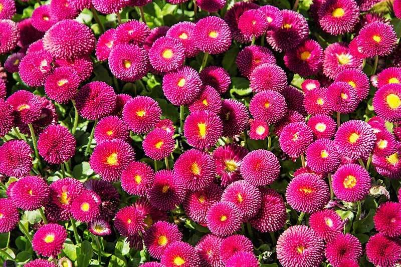 A close up horizontal image of a carpet of Bellis perennis 'Galaxy Rose' growing in a sunny garden.