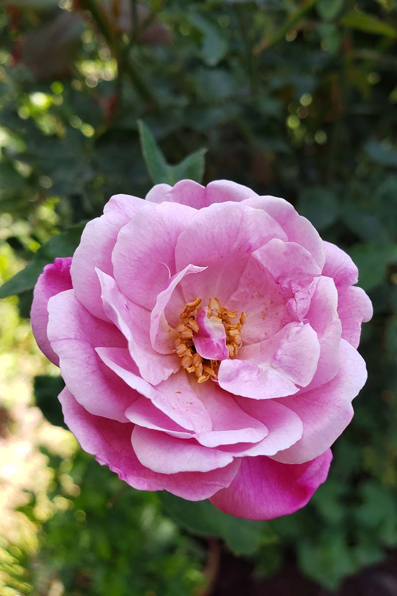 A close up vertical image of a 'Pink Prosperity' flower growing in the summer garden on a soft focus background.