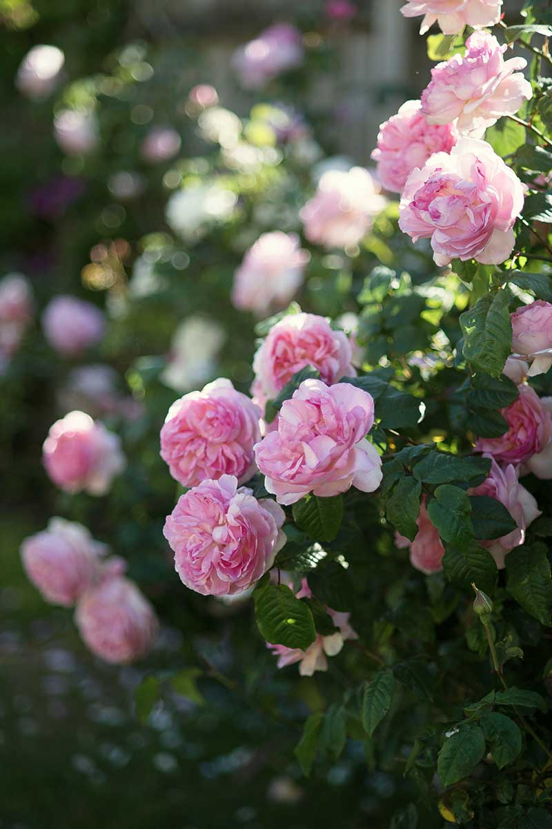 A vertical image of pink shrub roses growing in the summer garden fading to soft focus in the background.
