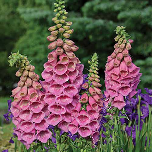 A close up square image of Digitalis 'Polkadot Princess' flowers growing in the garden.