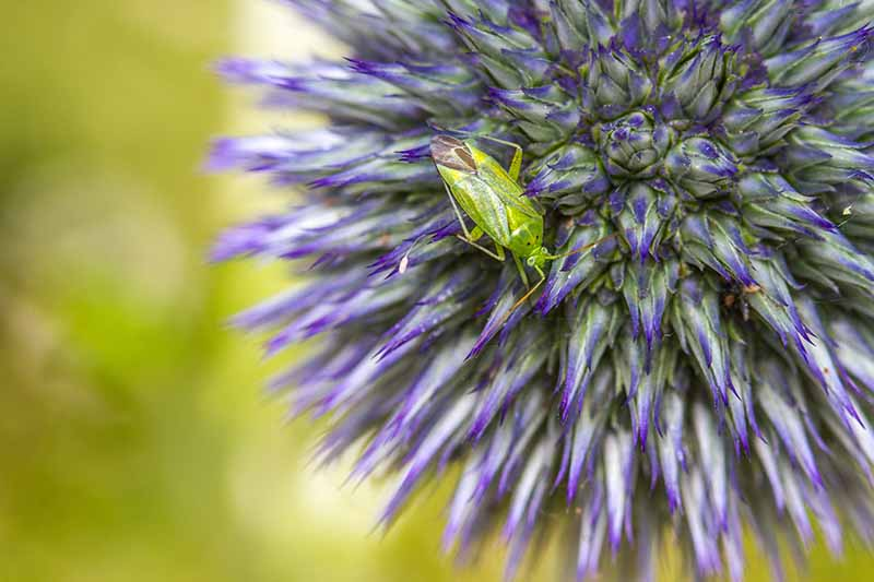 A close up horizontal image of a potato capsid bug feeding on a small globe thistle flower pictured on a soft focus background.