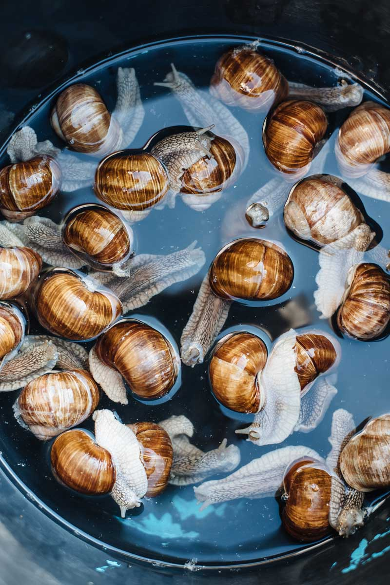 A vertical image of a group of grape snails in a pan with water being prepared as escargot.
