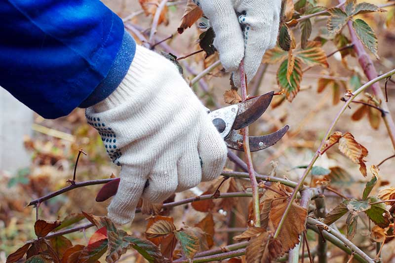 A close up horizontal image of a gardener wearing gloves pruning the canes of a Rubus shrub in autumn.