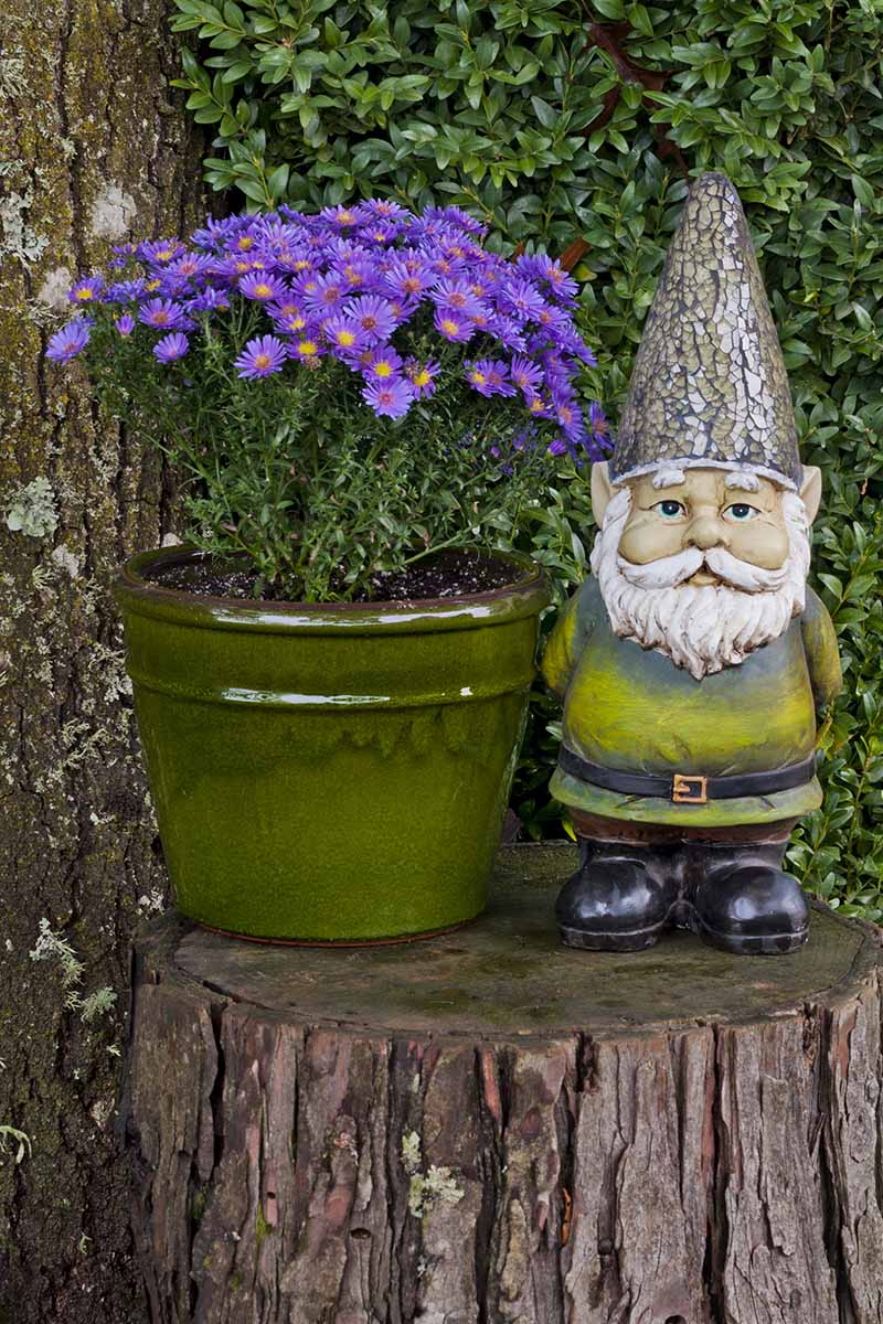 A close up vertical image of purple asters growing in a green ceramic pot with a garden gnome set next to it on a tree stump.