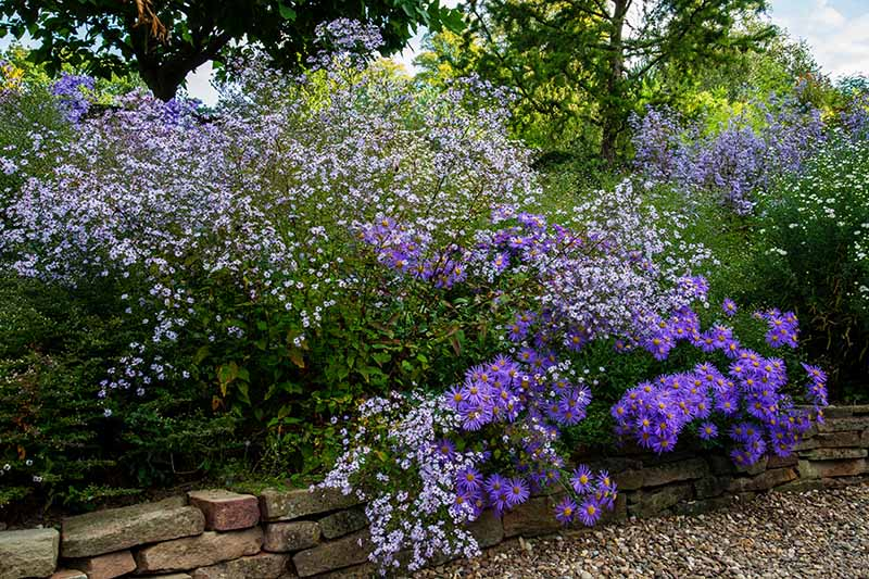 A close up horizontal image of bright purple asters growing in a mixed flower border with trees in the background.