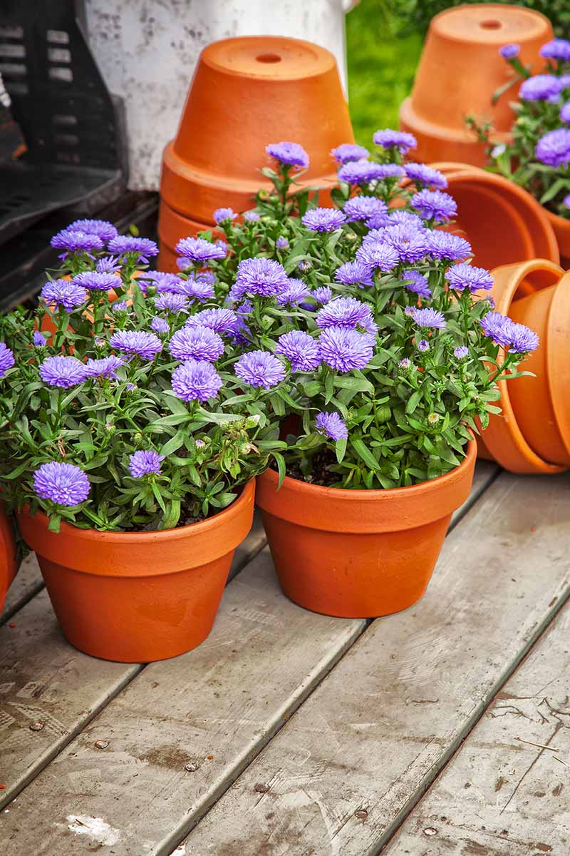 A close up vertical image of purple asters growing in terra cotta pots set on a wooden surface.