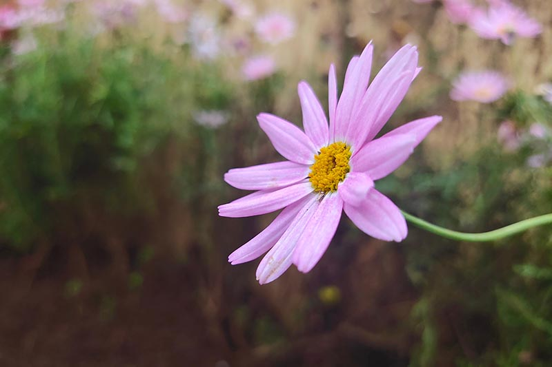 A close up horizontal image of a small pink Coreopsis rosea flower growing in the garden pictured on a soft focus background.