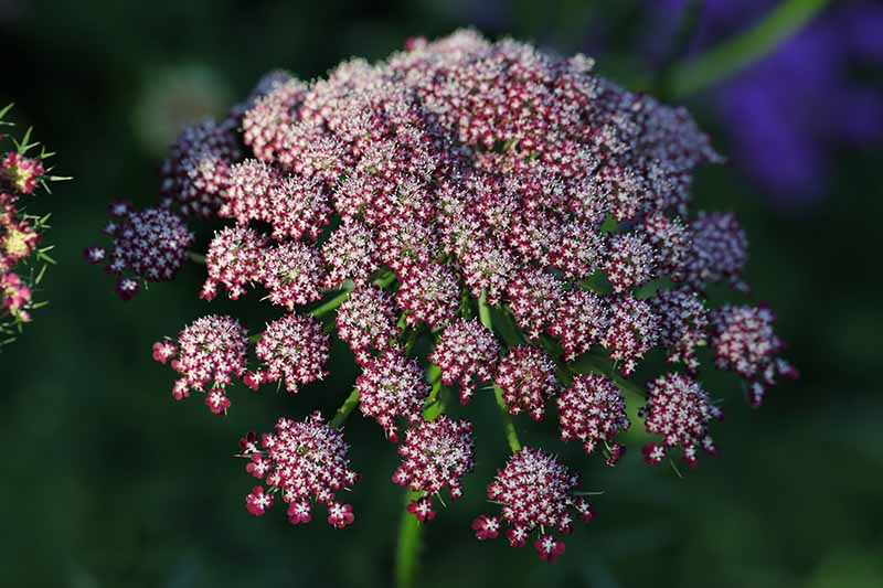 A close up horizontal image of a purple flower of Daucus carota 'Dara' pictured on a dark background.