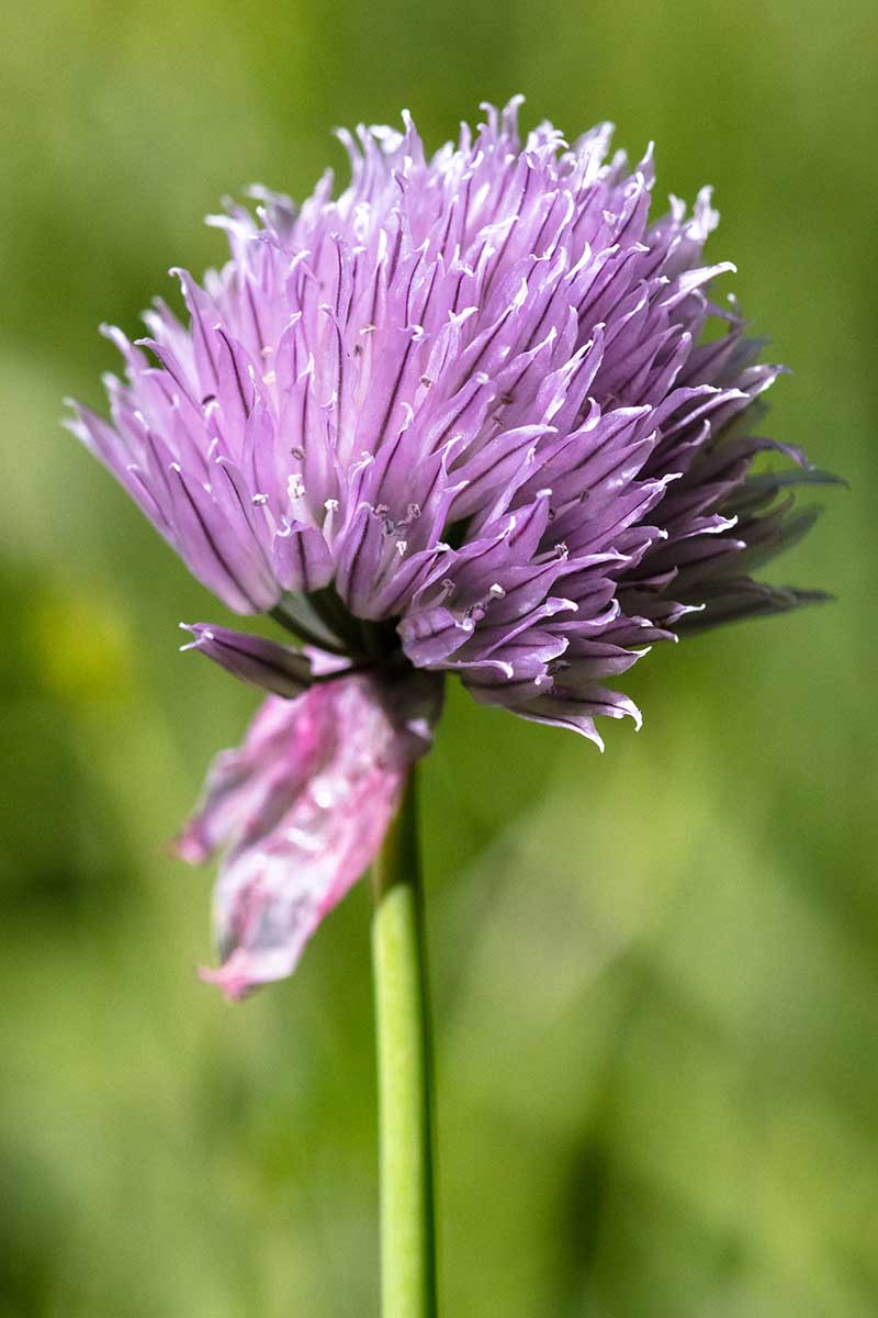 A close up vertical image of the small purple flower of wild chive growing in the garden pictured on a soft focus background.