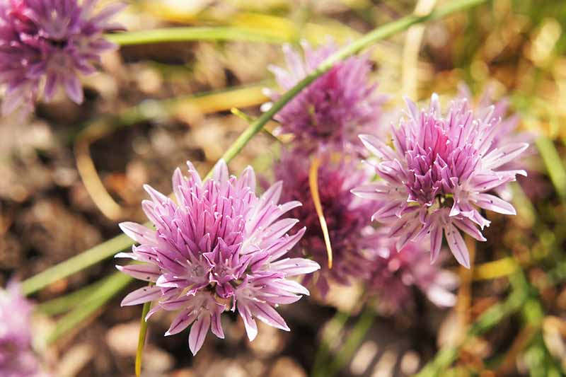 A close up horizontal image of small purple flowers of wild chives pictured on a soft focus background.