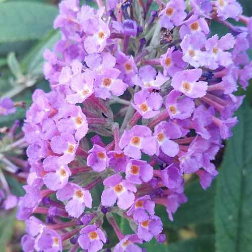 A close up square image of Buddleia 'Purple Haze' flowers pictured on a soft focus background.