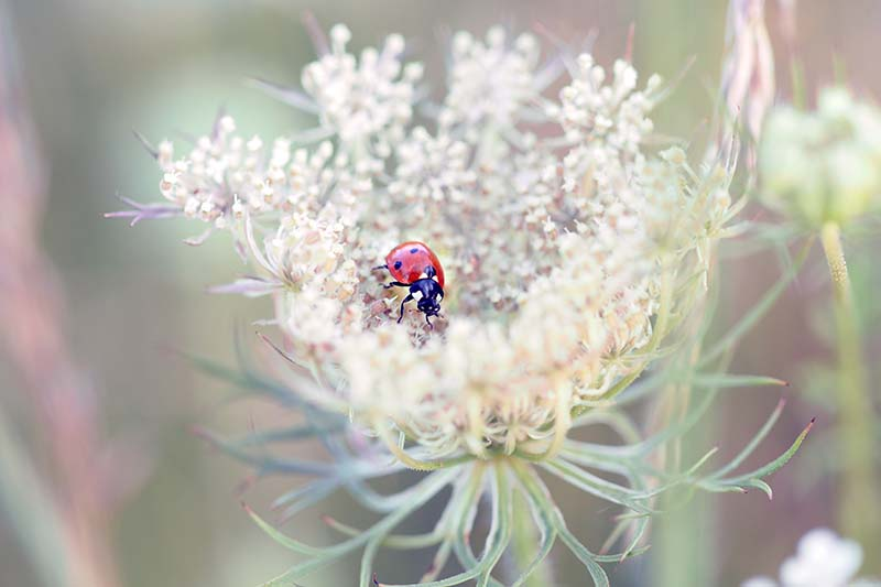 A close up horizontal image of a ladybug on a Daucus carota flower pictured on a soft focus background.