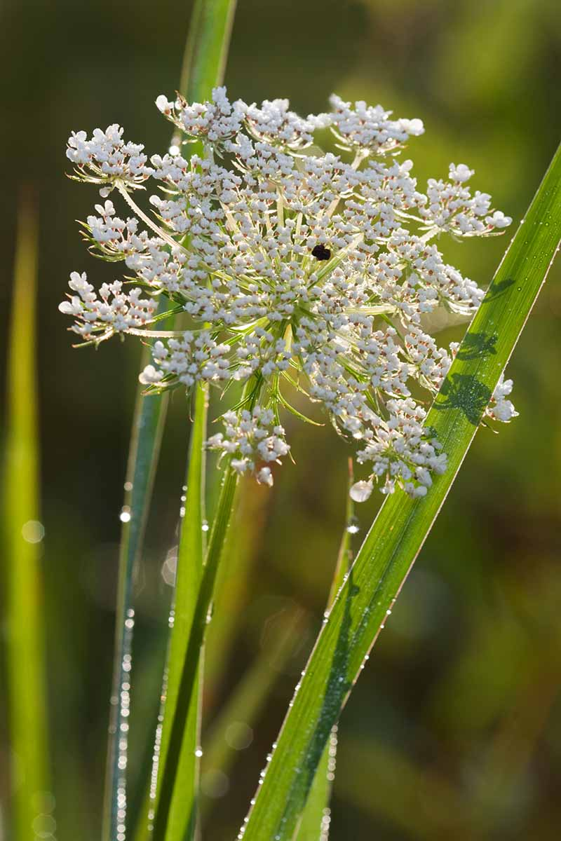 A close up vertical image of a Queen Anne's lace flower pictured in light sunshine on a soft focus background.
