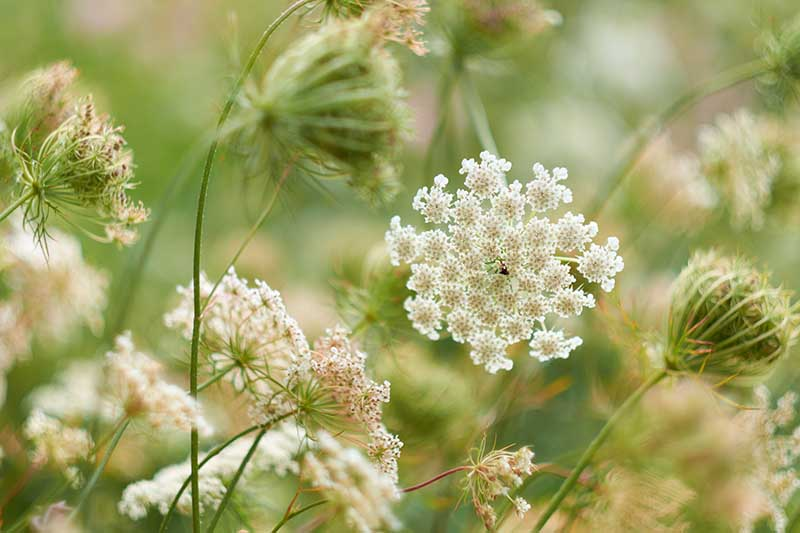 A close up horizontal image of Daucus carota, wild carrot, aka Queen Anne's lace flowers growing in the garden pictured on a soft focus background.