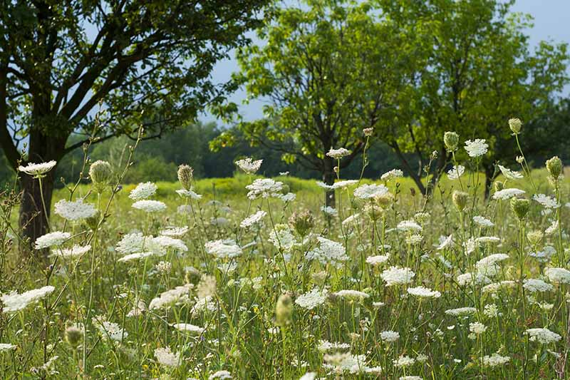 A horizontal image of Queen Anne's lace growing in a meadow under trees pictured on a blue sky background.