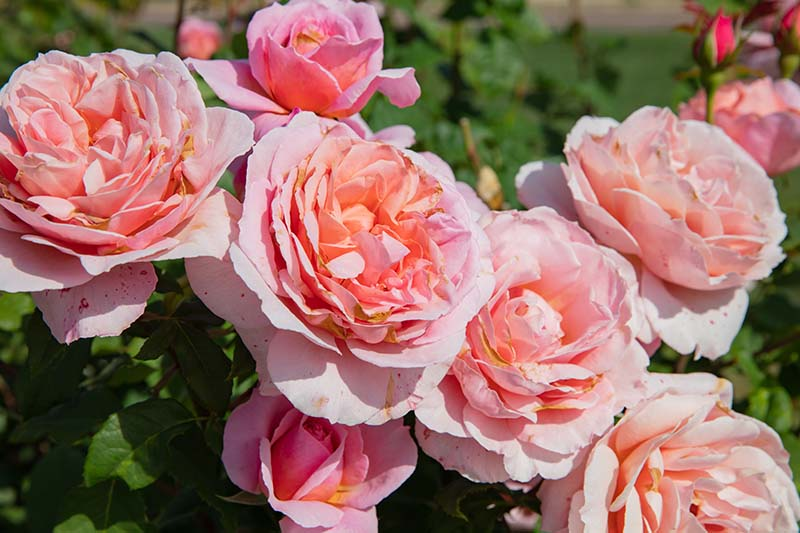 A close up horizontal image of pink 'Queen of Sweden' flowers growing in the garden pictured in bright sunshine.